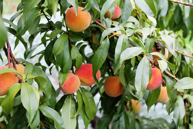 Millions-of-Peaches-IMG_2933